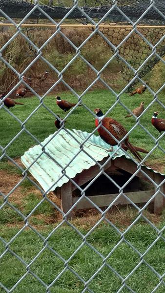 Pheasant Breeding Program